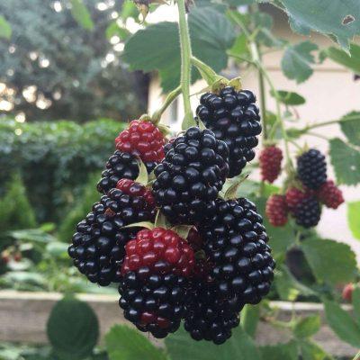 Frischgepflückt und sofort gegessen sorgt für hohen Enzym- und Biophotonengehalt